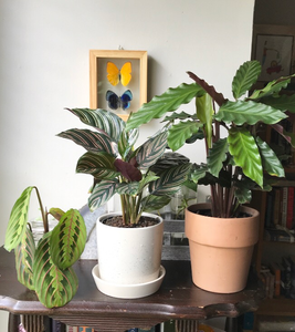 Maranta cutting and potted Calatheas | Picture CreditL Lourdes Montes | 2020