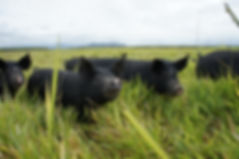 Backfatters pigs