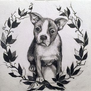 Nucky the Boston Terrier