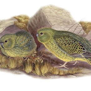 The Tale of the Night Parrot