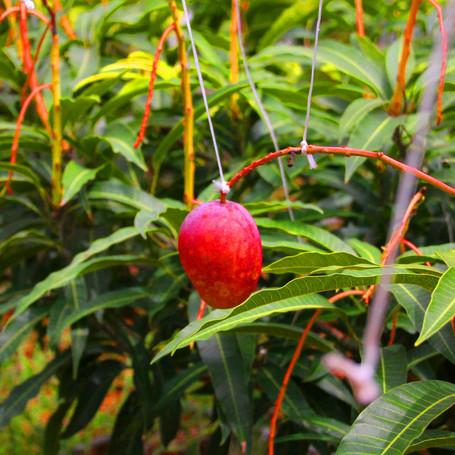 赤い実、甘味。亜熱帯の宝石、マンゴー。