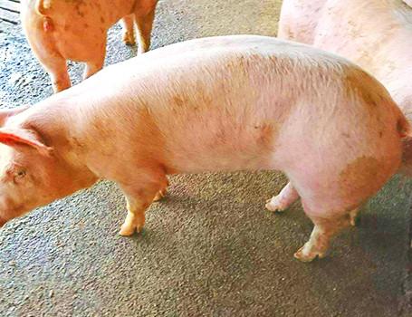 もろみで育てる、石垣島のブランド豚。もろみ豚。