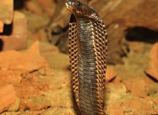 Technique du Cobra Solaire (de l'énergie pour les chakras)