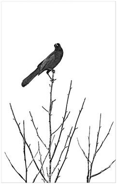 LKP_blackbird2_IMG_3420.jpg