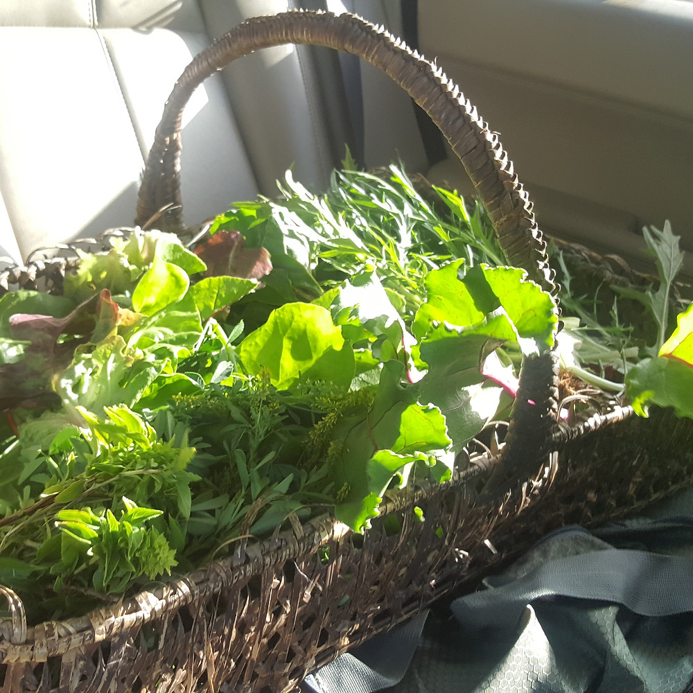 Organic salads - rainbow chard, clover, Wild Rocket, Basil, Red lettice