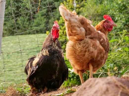 hühner_.jpg