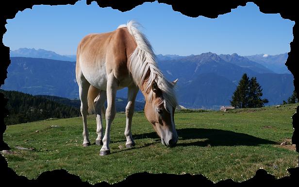 pferd haflinger auf wiese.png