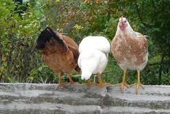 hühner_auf_zaun.JPG