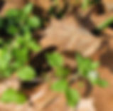 chickweed2.jpg