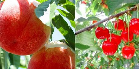 山梨フルーツ狩り  /  Fruits Hunt!!