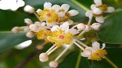 fleurs-de-tamanu.jpg