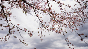 富士山と桜を撮りたくて ー 河口湖でのロケーションフォト