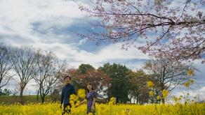 ラストチャンスの桜撮影 昭和記念公園でのエンゲージメントフォト