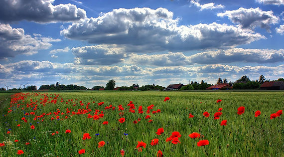 field-of-poppies-50588_1280.jpg