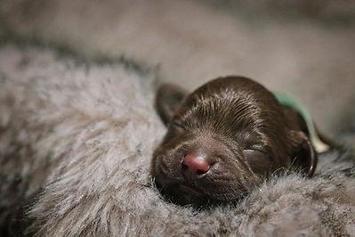 Chocolate puppy 1.jpg