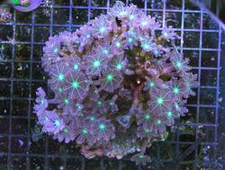 clavualaria neon green