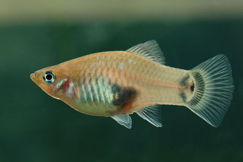 xiphophorus maculatus ♀ Chuco's place