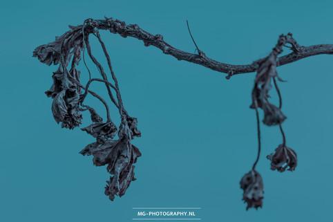 Verdorde plant