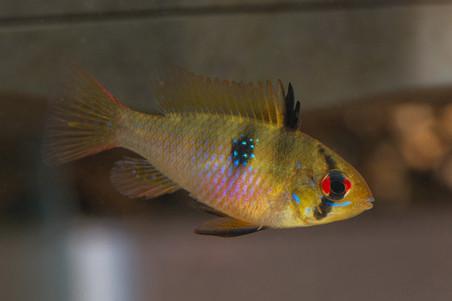 Mikrogeophagus ramirezi ♀ (wildvang)