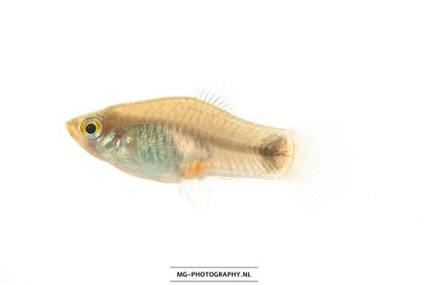 Xiphophorus maculatus ♂ Chuco's place