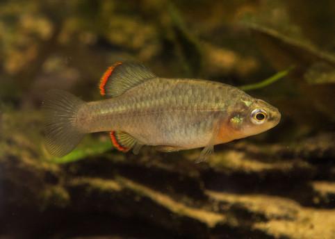 Zoogoneticus purhepechus La Luz ♂