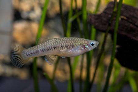 Scolichthys iota Rio Chajmaic ♀