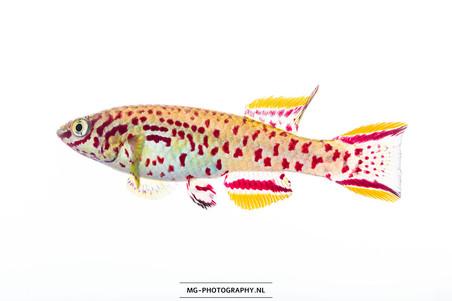 Fundulopanchax gardneri ♂