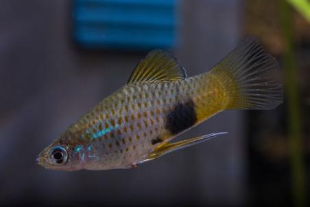 Phallichthys fairweatheri ♂