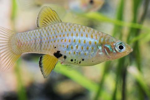 Phallichthys fairweatheri ♀
