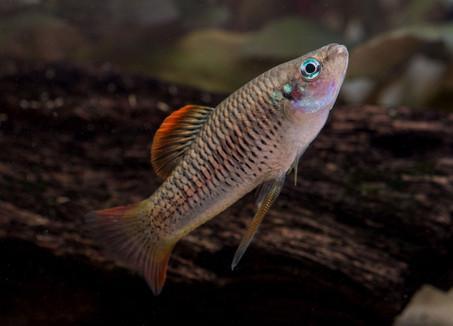 Priapichthys annectens rio Aqua Caliente ♂