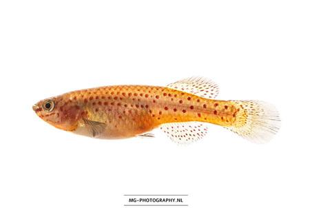 Fundulopanchax gardneri ♀