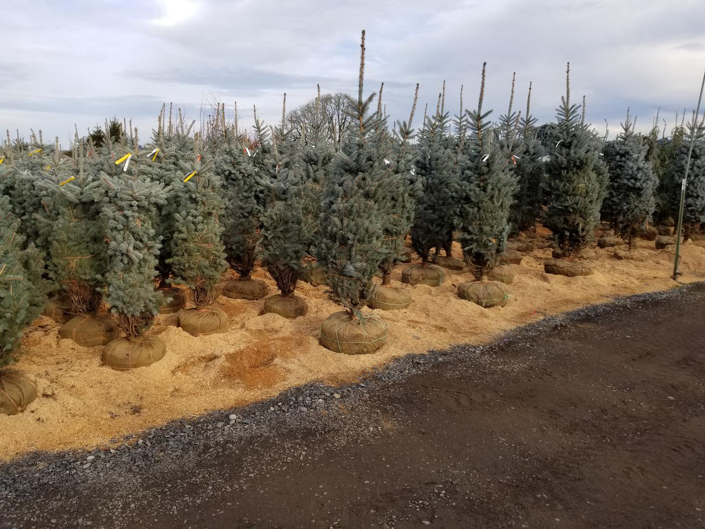 Fresh Blue Spruce ready to ship!