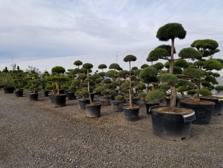 Sculptured Pines