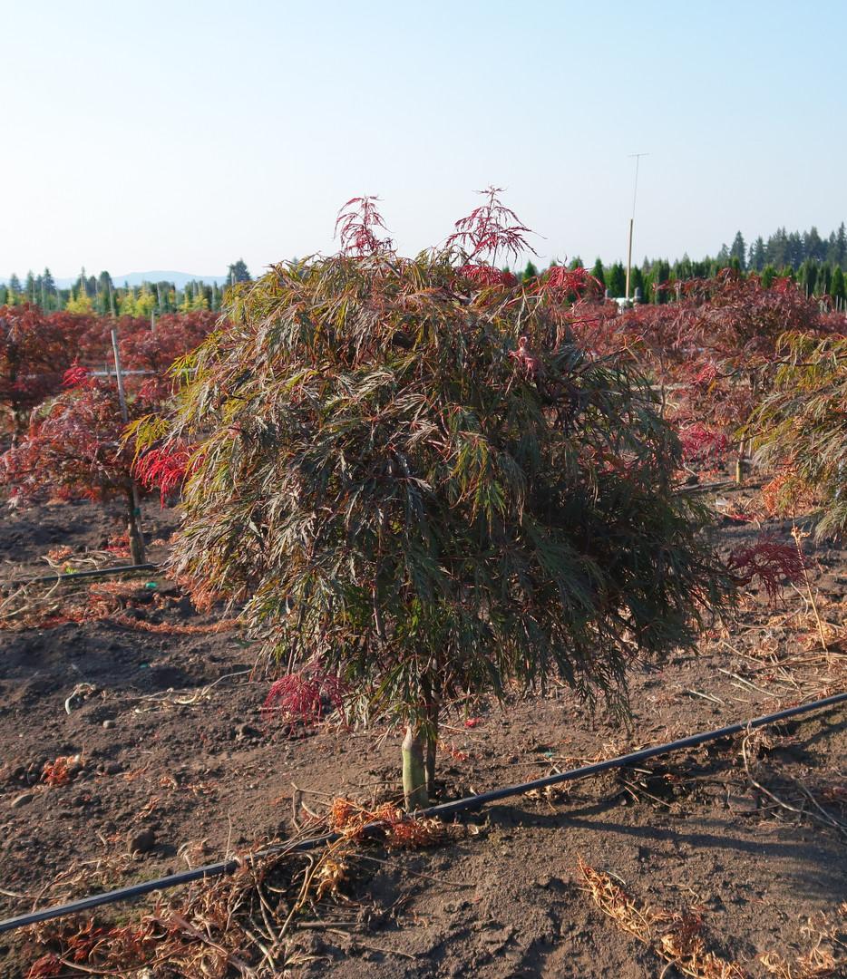 Acer palmatum dissectum 'Crimson Queen'