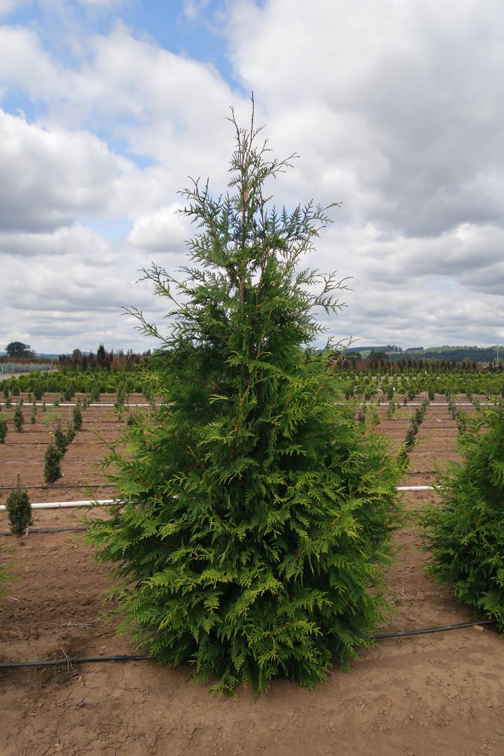 Thuja x. plicata 'Green Giant'