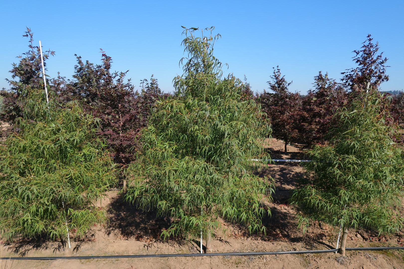 Acer palmatum 'Koto no ito'