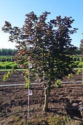 Acer circinatum Burgundy Jewel