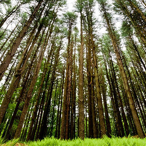 Pine Forest by Charles Daviet