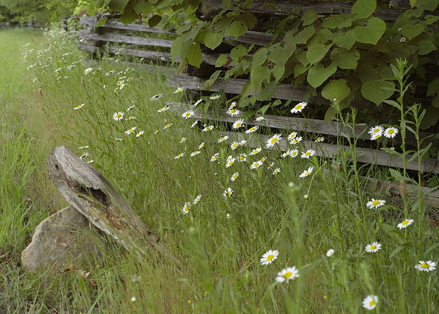 Daisies & Split Rail Fence by Dr Dustan Osborn