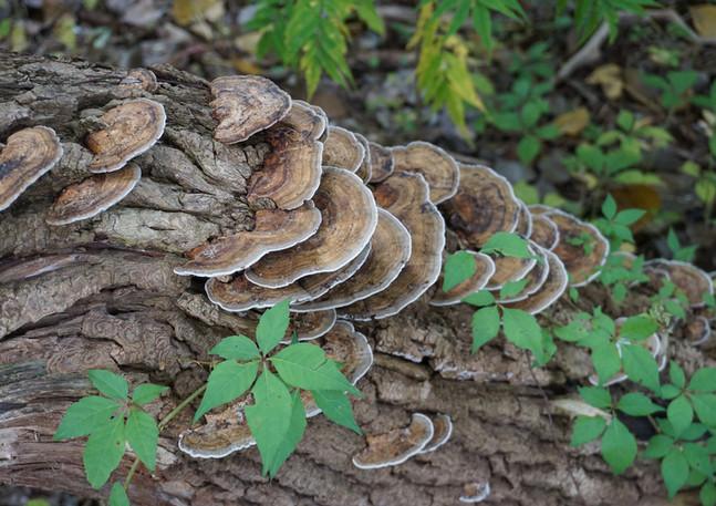 Tree Fungii