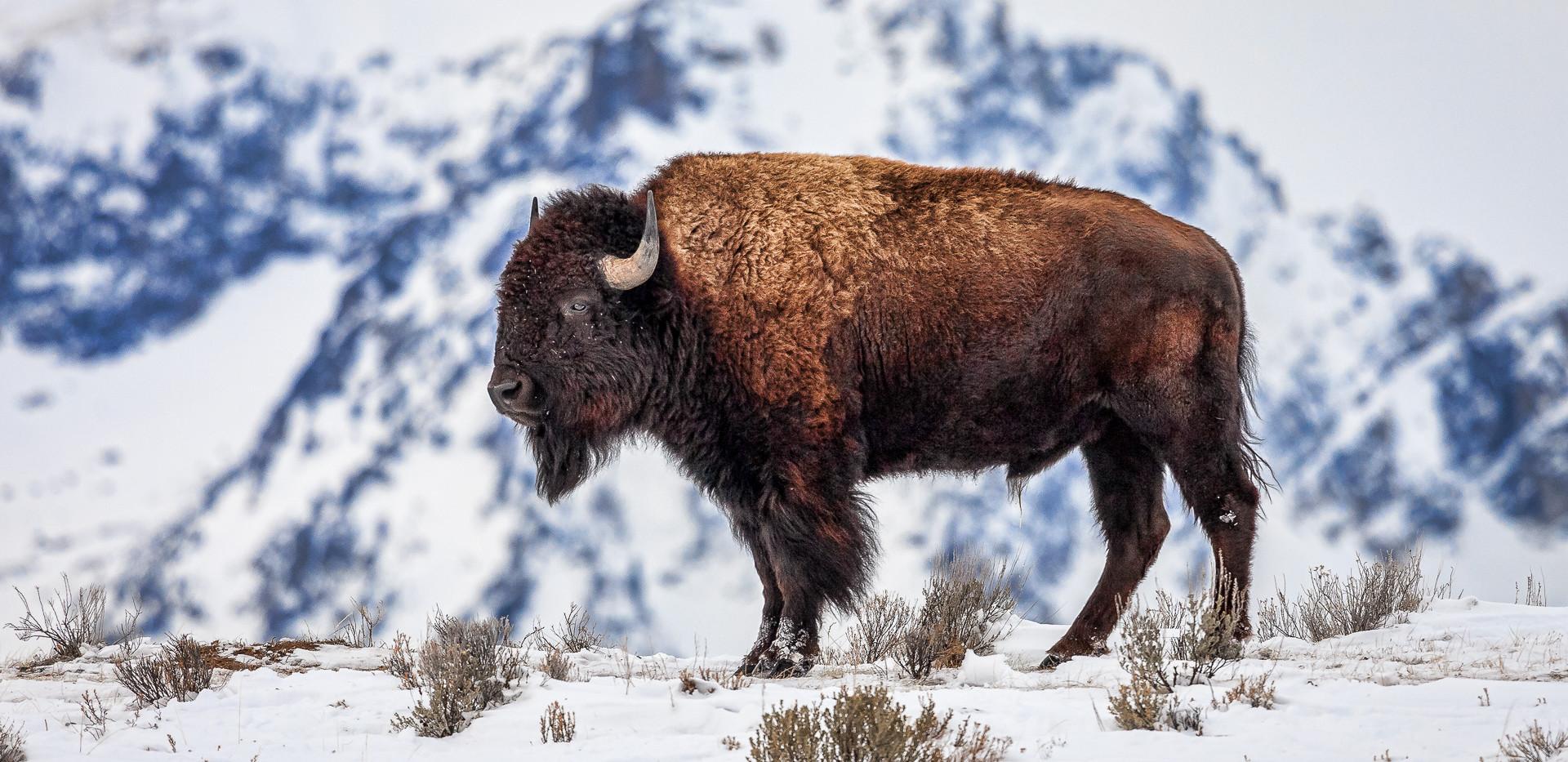HM: Teton Bison.jpg