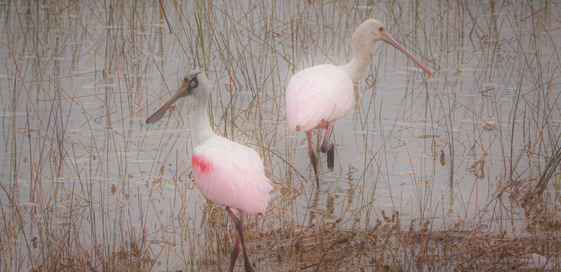 2nd: Roseate Spoonbills On The Move