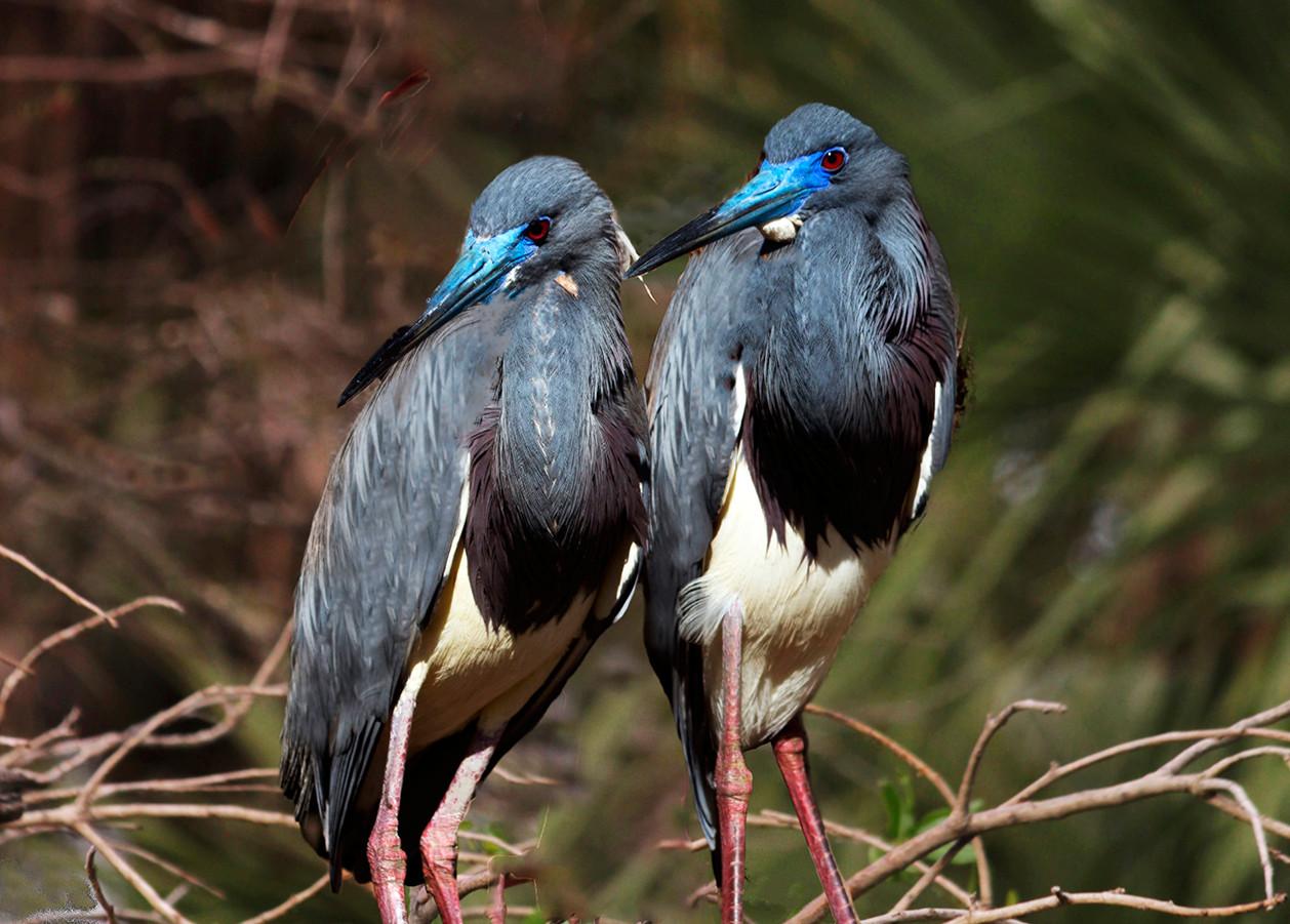 Tri Colored Herons