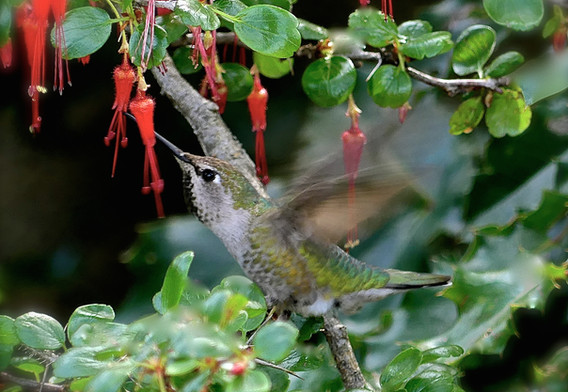 1st: Hummingbird 1