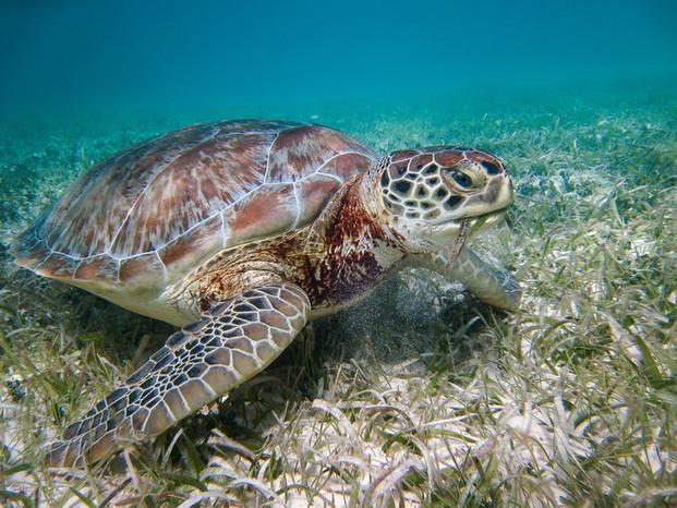Turtle Grazing