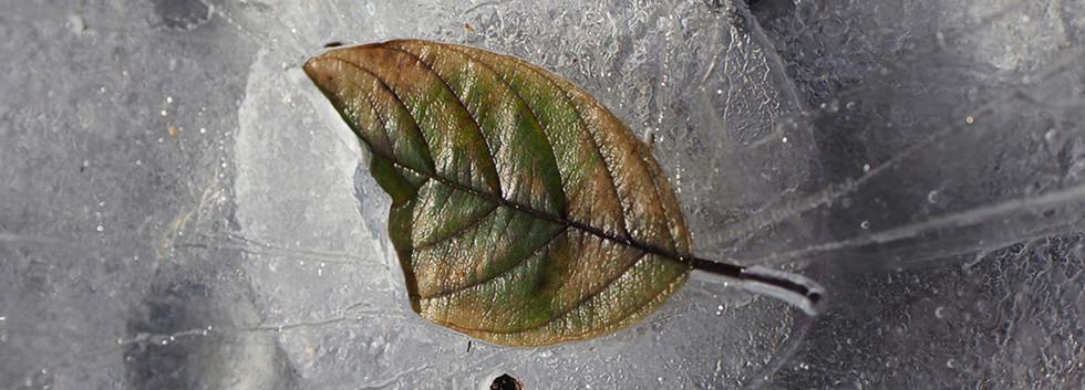 3rd: Frozen Leaf