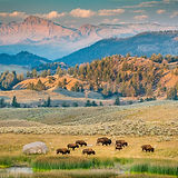 1-Nature_A_TomHill_bisonfamily.jpg