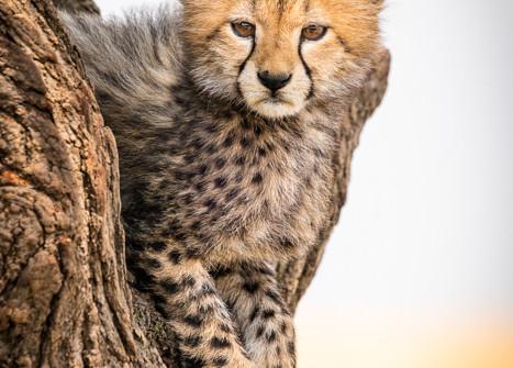 3rd Cheetah Cub