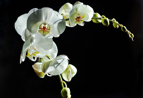 2nd: White Orchid