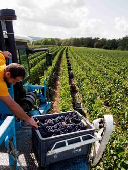 Débardage des raisins dans les vigne